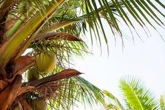 Palmen - perfekte Palmen, Kokosnüsse auf der Palme Stockbilder