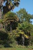 Palmen in Portugal-` s Natur Stockfoto