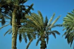 Palmen tegen de blauwe hemel op een zonnige dag Stock Afbeeldingen