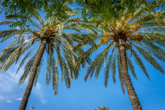 Palmen tegen een blauwe hemel in Sevilla, Spanje, Europa Stock Afbeeldingen