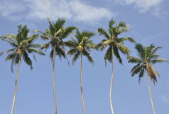 Palmen tegen een mooie duidelijke hemel Royalty-vrije Stock Afbeeldingen