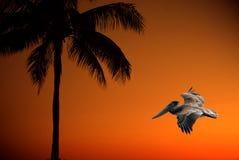 Palmen-u. Pelikan-Sonnenuntergang Lizenzfreie Abbildung