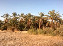 Palmen und frische Palme trägt Ernte in Ouargla Algerien Früchte Ouargla eins der Palmenerntestadt Stockbild