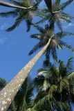 Palmen van acai Stock Foto