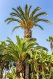 Palmen van verschillende grootte tegen een blauwe hemel royalty-vrije stock afbeeldingen