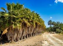 Palmen-Waldungen, Palmeral in Elche nahe Alicante in Spanien lizenzfreies stockbild