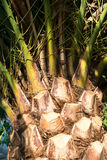 Palmenbaumrinde Stockfotografie
