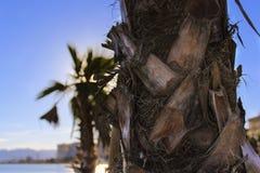 Palmenbaumrindeabschluß oben Stockfoto