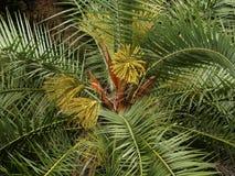 Palmenblüten an der Insel von Sao Miguel, Azoren, Portugal lizenzfreie stockbilder