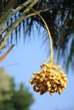 Palmendaten Lizenzfreies Stockfoto