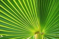 Palmendetail Lizenzfreie Stockbilder