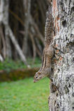 Palmeneichhörnchen (Funambulus-palmarum) auf dem Stamm der Palme Wadduwa, Sri Lanka Stockfoto