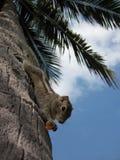 Palmeneichhörnchen, Trincomale, Sri Lanka Stockbild