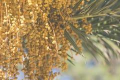 Palmenfrüchte auf dem Baum Stockfotos