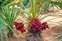 Palmenfrucht Lizenzfreies Stockfoto