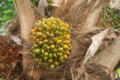 Palmenfrucht auf Anlage Lizenzfreies Stockbild