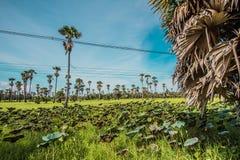 Palmenlotosfelder Stockbilder