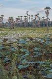 Palmenlotosfelder Stockbild