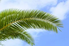 Palmenniederlassung gegen einen klaren blauen Himmel Alanya, die Türkei Stockfoto
