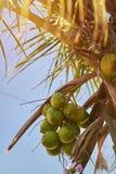 Palmenniederlassung mit Kokosnussfrüchten Stockbilder