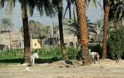 Palmenoase Afrikas Luxor Esel Stockfotos