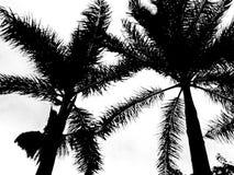 Palmensilhouet Stock Afbeeldingen