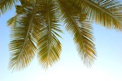 Palmenwedel lizenzfreie stockfotos