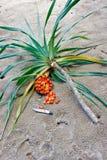 Palmenzweig, tropische Frucht und unterbrochenes Messer Lizenzfreies Stockbild