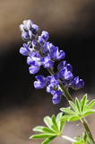 Palmer Lupine Royalty Free Stock Image