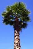 Palmera Imagen de archivo