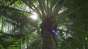 Palmera con el sol que brilla a trav?s de las hojas Los rayos de los soles que brillan a trav?s de las hojas de la palmera metrajes