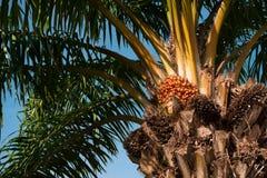 Palmera con las frutas contra el cielo azul imagen de archivo libre de regalías