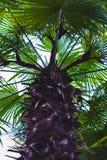 Palmera con las hojas verdes Foto de archivo libre de regalías