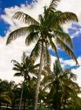 Palmera con los cocos Imagenes de archivo