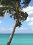 Palmera con los cocos sobre el océano Línea del horizonte y agua hermosas de la turquesa Costa atlántica de Cuba Imágenes de archivo libres de regalías