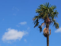 Palmera contra el cielo azul con una nube Imagenes de archivo