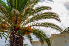 Palmera de extensión hermosa en la playa, símbolo exótico de las plantas Imágenes de archivo libres de regalías