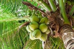 Palmera de los cocos Foto de archivo