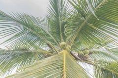 Palmera del coco Fotos de archivo libres de regalías