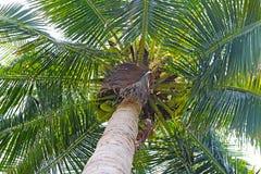 Palmera del coco Foto de archivo