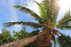 Palmera del coco Imágenes de archivo libres de regalías