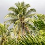 Palmera del coco Imagen de archivo