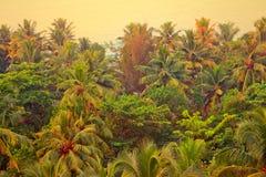 Palmera del coco con las nueces maduras Kerala Imagen de archivo libre de regalías