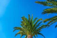 Palmera del coco en el cielo azul Fotografía de archivo