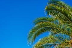Palmera del coco en el cielo azul Imágenes de archivo libres de regalías