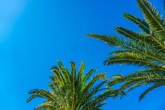 Palmera del coco en el cielo azul Foto de archivo libre de regalías