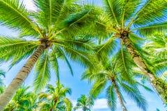 Palmera del coco en el cielo azul Imagenes de archivo