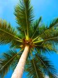 Palmera del coco sobre el cielo azul brillante Fotografía de archivo libre de regalías