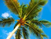 Palmera del coco sobre el cielo azul brillante Foto de archivo
