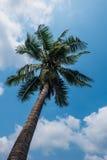 Palmera del coco y cielo azul Imagen de archivo
